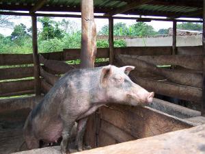 sel26-pigs