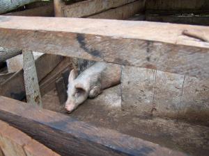 sel34-pigs